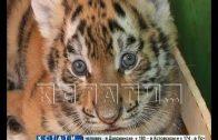 Кормящими матерями для тигрят стали сотрудницы зоопарка