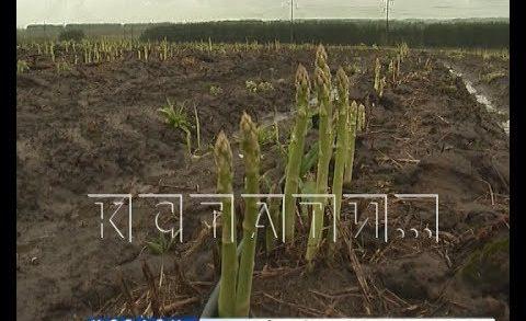 В Нижегородской области начали выращивать спаржу