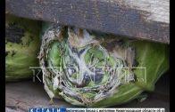 Водитель-дальнобойщик бросил фуру с тухлой капустой на улице Кузбасской и уехал в Дагестан