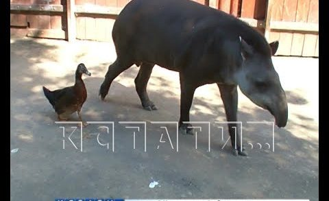 Межвидовые отношения — в нижегородском зоопарке тапиры и утка создали семью
