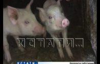 В Вадском районе повторно выявлена африканская чума свиней