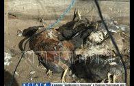 За ночь на двух подворьях деревни Успенская кто-то выпил кровь у 70 кур