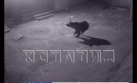 Дикий медведь зашел в город — ломал заборы, сопел под окнами и шалил в детсаду