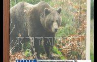 Медведь, напавший на человека в Семенове — объявлен в розыск
