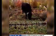 Рогатый террор в Дивееве — коровы обворовывают огороды соседей