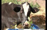Скотный Освенцим с полуживыми коровами выявлен в Автозаводском районе