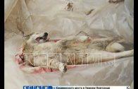 С помощью петард жители села Сява держат оборону от потерявших страх волков