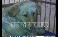 Берлинский след обнаружен в деле о синих собаках с Дзержинской промзоны