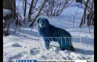 Синих собак на территории дзержинского хим. предприятия ловили ветеринары и зоозащитники