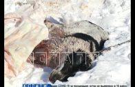 Бойцовские собаки устроили кровавую бойню в поселке Ильино