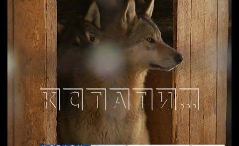 Потомство, оставшееся от экспериментов с волками шахунского предпринимателя, держит жителей в страхе