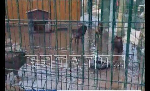 Волки в Балахнинском зоопарке из-за паводка из млекопитающих превратились в водоплавающих