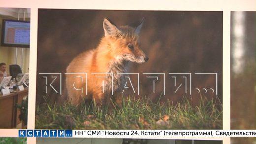 Лисий террор в с. Абабково — лисы перестали бояться людей и нападают на домашних птиц средь бела дня