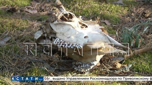 Лесной детектив — жители Дзержинска обнаружили останки растерзанного животного